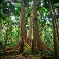 Gigantic tree tropical national park rainforest Royalty Free Stock Photo