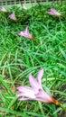 Giglio rosa della pioggia Immagini Stock