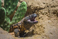 Gila Monster Royalty Free Stock Photo
