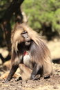 Gilada Baboon Stock Photos
