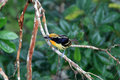 Gilded barbet capito auratus in ecuador Stock Images
