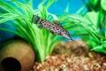 Gilded catfish zungaro zungaro in aquarium Royalty Free Stock Photos