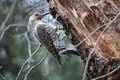 Gilded flicker woodpecker