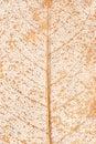 Gilded leaf veins over white background Stock Image