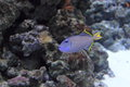 Gilded triggerfish floating in water Royalty Free Stock Photography