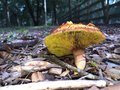 Gilled bolete mushroom a with a red cap and bright yellow gills probably phylloporus rhodoxanthus or phylloporus leucomycelinus Stock Photography