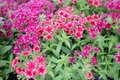 Gilliflower or Dianthus flowers. Colorful flowers with shape of stars. Floral pattern. Spring and summer flowers background textur