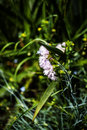 Gillyflower in garden pink grass the Royalty Free Stock Photo
