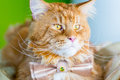Ginger Cat with Amazing Big Eyes wearing Butterfly Tie lying on the Table on the Green Background