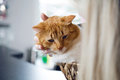 Ginger cat in basket Royalty Free Stock Photo