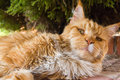 Ginger cat cute lying on the ground Royalty Free Stock Image