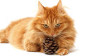 Ginger cat with a fir-cone shot Stock Photography