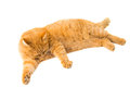 Ginger cat isolated on white background Stock Image