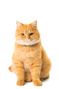 Ginger cat isolated on white background Royalty Free Stock Photo
