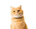 Ginger cat isolated on white background Royalty Free Stock Photography