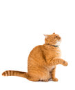 Ginger cat isolated on white background Stock Photography