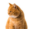 Ginger cat isolated on white background Royalty Free Stock Images