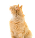 Ginger cat isolated on white background Stock Photos