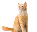 Ginger cat isolated on white background Royalty Free Stock Image