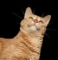 Ginger cat looking up sur un fond noir Photographie stock libre de droits