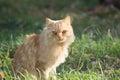 Ginger Cat In Nature