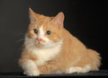 Ginger cat over dark background animal portrait Royalty Free Stock Images