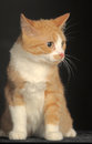 Ginger cat over dark background animal portrait Royalty Free Stock Photography