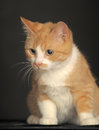 Ginger cat over dark background animal portrait Royalty Free Stock Photo
