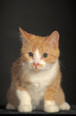 Ginger cat over dark background animal portrait Stock Photos