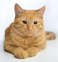 Ginger cat portrait of cute against white Royalty Free Stock Photos