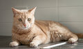 Ginger cat sitting on the kitchen counter naughty tabby lying and dish drainer Stock Photo