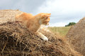 Ginger cat warrantable hunts mice in the hay Stock Photos