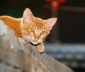 Ginger cat with yellow eyes lying in the yard Royalty Free Stock Photo