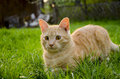 Ginger cat young red haired on a green grass sports Royalty Free Stock Image