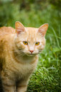 Ginger cat young red haired on a green grass sports Royalty Free Stock Photos