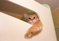 Ginger kitten cat watching with elevation dangling paw Royalty Free Stock Photo