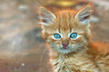 Ginger kitten  kitten look   little kitty Royalty Free Stock Photo