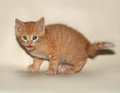 Ginger kitten licking his chops on yellow background Royalty Free Stock Photography