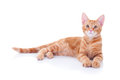 Ginger kitten looking at camera Stock Photos