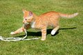Ginger kitten playing with a string.