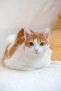 Ginger kitty lie on bed with folded paws and looking interested to camera on portrait Royalty Free Stock Photo