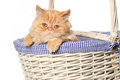 Ginger Persian cat in a basket Royalty Free Stock Photo