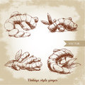 Ginger root set. Herbs and spices vector illustration