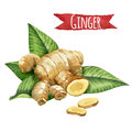 Ginger root watercolor illustration with clipping path