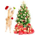 Ginger santa cat and christmas tree isolated white background Royalty Free Stock Image