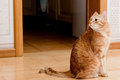 Ginger tabby cat Royalty Free Stock Photos