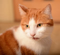Ginger and white cat staring Stock Photography