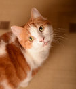 Ginger and white cat staring Stock Image