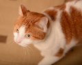 Ginger white cat walking inside Royalty Free Stock Photo