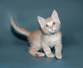 Ginger and white kitten standing on gray background Royalty Free Stock Images